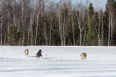 Trio of Grey Wolves Canis lupus Runs Through Field Royalty Free Stock Photography