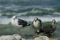 Trio Of Gulls - California Royalty Free Stock Image