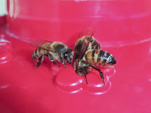 A Trio of Honey Bees at a Feeder Stock Image