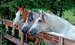 Trio of Horses at the rural Ranch. Three horses standing at a fence on a rural farm Stock Image