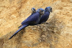 Trio of hyacinth macaws Royalty Free Stock Photography