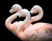 Trio III do flamingo imagem de stock royalty free
