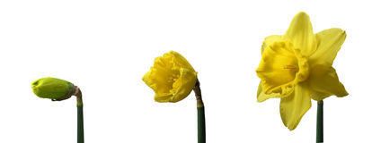 Trio Jonquils Royalty Free Stock Photos