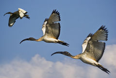 Trio of Juvenile African Sacred Ibis in Flight. (Threskiornis aethiopicus Stock Photos