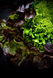 Trio Leaf Lettuce 2 Stock Images