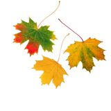 Trio of Leaves. Abstract of three maple leaf leaves in the colors of fall, set against a white background Royalty Free Stock Photos