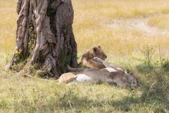 Lionesses sleeping under a tree in the Masai Mara royalty free stock images