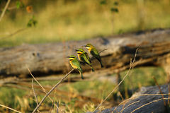 Trio of Little Bee-Eaters Royalty Free Stock Images