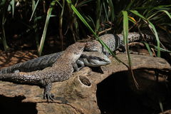 Trio of Lizards Royalty Free Stock Photo