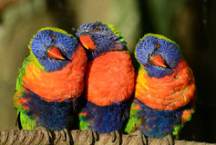 A Trio of Lorikeets Royalty Free Stock Images