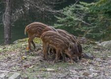 Trio of Baby Boar Eating royalty free stock image