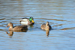 Trio Of Mallards On A Pond Royalty Free Stock Image