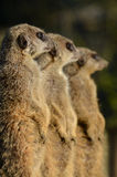 A Trio of Meerkats. Lined up for sentry duty Stock Photography