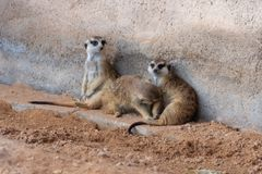 A trio of meerkats in the desert royalty free stock image