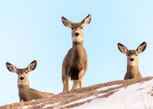 Trio of Mule Deer Does on a Snow-Covered Hill Stock Photo