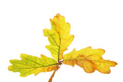 Trio of Oak leaves Royalty Free Stock Image