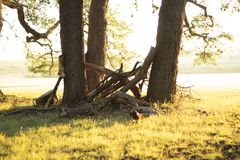 Trio of oak trees. The sun rising, shining on a trio of oak trees with dead limbs stuck in the middle Stock Image