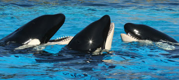 A Trio of Oceanarium Killer Whales. Socialize in TheirTank Stock Image