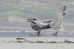 Trio Of Royal Terns At Sian Ka`an, Mexico Royalty Free Stock Image