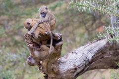 A Trio Of Olive, or Savanna, Baboon Babies At Play stock photography