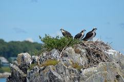 Trio of Ospreys Perched in a Nest in Casco Bay Royalty Free Stock Photography
