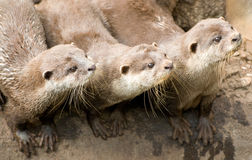 Trio of Otters Royalty Free Stock Image