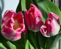 Trio of pink tulips Royalty Free Stock Photos