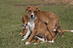 Trio of playful puppies laying in green grass. Royalty Free Stock Photo