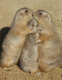 Trio of Prairie Dogs - Group Hug. Two adult Prairie Dogs and a young one in a group hug Stock Photography