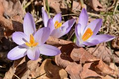 Trio of purple crocuses reborn from the dried leaves of fall. Royalty Free Stock Images