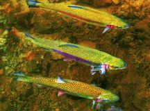 Trio of rainbow Trout swimming in river. Three rainbow trout swimming against current in the McKenzie River stock image