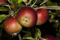 Trio of red apples Stock Photography