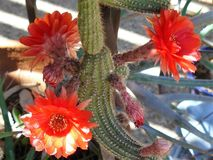 Trio of red cactus flowers stock photography