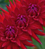 Trio of Red Dahlias in Succession Royalty Free Stock Photo
