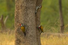 Three Black-Rumped Flameback Woodpeckers. A trio of red-headed woodpeckers with black eye stripes, white breast with black stripes, white -spotted black wings royalty free stock image