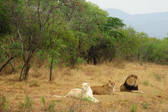 Trio of Regal African Lions Royalty Free Stock Photography