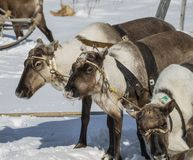 Trio of reindeers Royalty Free Stock Photography
