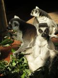 Lemurs sunning in zoo. A trio of ring-tailed lemurs sunning themselves on a sunny day stock images
