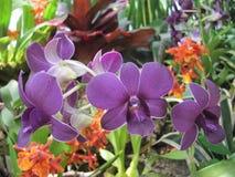 Trio roxo da flor Fotografia de Stock Royalty Free