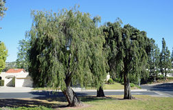 Trio of same type of weeping trees in Laguna Woods, California. Image shows a trio of the same type of weeping trees (Callistemon genus?)  in Laguna Woods Royalty Free Stock Photo