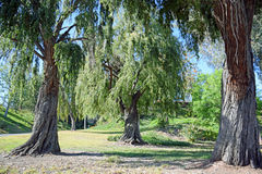 Trio of same type of weeping trees in Laguna Woods, California. Royalty Free Stock Image