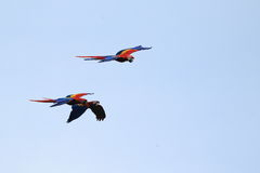Scarlet macaw in flight Royalty Free Stock Photography