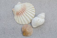 Trio of Seashells. Scallop ,cockle and dog whelk shell Royalty Free Stock Photo