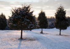 Trio of snow covered evergreens. Evergreen trees in a meadow lightly dusted with snow with the sun rising behind the main tree giving a warm light stock photo