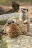 Trio somnolent de Meerkat Photographie stock