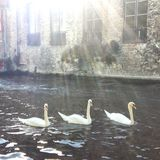 Trio of Swans in Romantic Bruges Canal Stock Photos