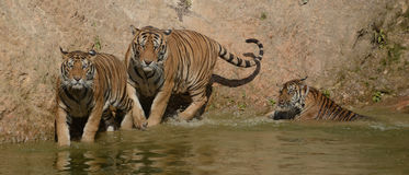 Trio of Swimming Bengal Tigers Royalty Free Stock Images