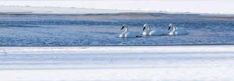 Trio of trumpeter swans in water. A trio of trumpeter swans swimming in a patch of free water surrounded by snow covered river ice Royalty Free Stock Photo