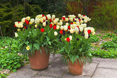 A trio of tulip planters in springtime. Stock Image