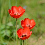 Trio of tulips Royalty Free Stock Photography